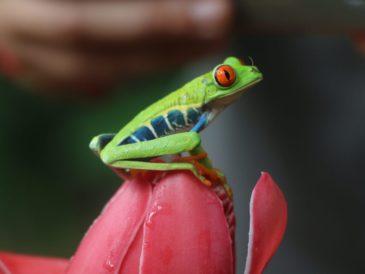 green frog costa rica